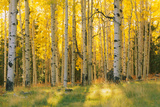 Aspen trees in a forest  Coconino National Forest  Arizona  USA