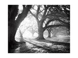 Oak Alley  Light and Shadows