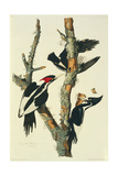 Campephilus principalis  ivory-billed woodpecker  illustration from 'Birds of America'