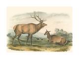 American Elk and Deer