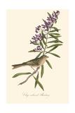 Audubon's Bunting