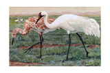 A Painting of an Adult and Juvenile Whooping Cranes