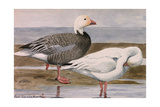 A Painting of a Snow Goose and a Blue Goose on a Sandy Shoreline