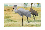 A Painting of Adult and Juvenile Sandhill Cranes