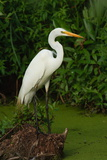 Great Egret Perched on a Stump in a Wetland