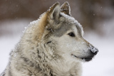 Grey Wolf (Canis lupus) head portrait of male, lying in snow, Captive Papier Photo par John Cancalosi
