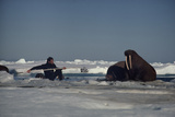Chukchi Sea  Arctic Ocean A researcher stretches to attach a tracking device to a walrus