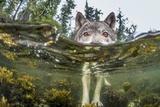 British Columbia  Canada A coastal wolf investigate a photographer's camera