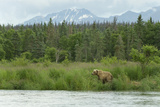 A Grizzly Bear Moves Along Grass Banks by a River