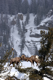 Bighorn Sheep Rams  Ovis Canadensis  Butting Heads for Dominance