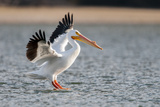 A White Pelican with Outstretched Wings Lands on Water