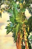 Bird of Paradise Palm II