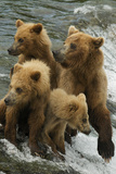 Brown Bear Family Bothered by Another Bear Approaching