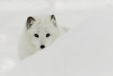 Arctic Fox in snow  Montana