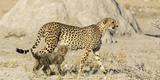 Namibia  Etosha National Park Cheetah mother and cub