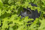Mountain gorilla  Bwindi Impenetrable National Park  Uganda