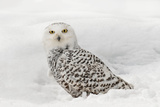 Snowy Owl on snow  Montana  Bubo scandiacus