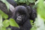 Africa  Rwanda  Volcanoes National Park Young mountain gorilla portrait