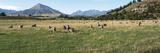 Sheep grazing in field  Riverrun Lodge  Wanaka  Queenstown-Lakes District  Otago Region  South I