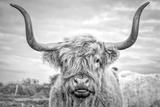 Highland Cows I