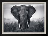 Eléphant Reproduction encadrée par Braun Studio