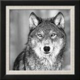 Loups Reproduction encadrée par PhotoINC Studio