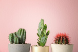 Beautiful Cactuses in Pots on Color Background