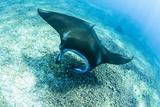 An adult manta ray at Makaser, Komodo Nat'l Park, Flores Sea, Indonesia, Southeast Asia Tableau sur toile par Michael Nolan