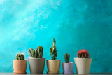 Beautiful Cactuses in Pots on Table against Color Background