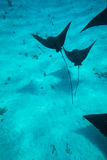 Eagle Rays Swimming in the Pacific Ocean, Tahiti, French Polynesia Tableau sur toile