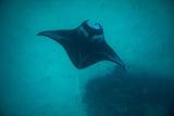 Manta Ray Swimming in the Pacific Ocean, Bora Bora, Society Islands, French Polynesia Tableau sur toile