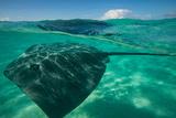 Half Water Half Land, Stingray in the Pacific Ocean, Moorea, Tahiti, French Polynesia Tableau sur toile