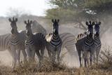 Burchell's zebra (Equus quagga burchellii) looking at the camera, Botswana, Africa Tableau sur toile par Sergio Pitamitz
