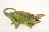Jackson's three horned chameleon  Trioceros jacksonii  at the Budapest Zoo