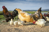Chicken and chicks on a farm in Laramie  Wyoming