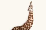 A Reticulated Giraffe at Rolling Hills Wildlife Adventure Near Salina  Kansas