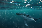 A Whale under the Water - the Majestic Sea Animal Floats in the Water