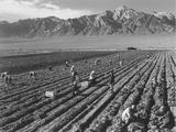 Farm workers harvesting  near Mount Williamson  Manzanar Relocation Center  California  1943