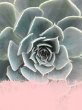 Pink On Succulent