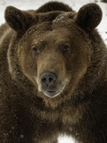 Grizzly Bear in winter, Ursus Arctos, Montana Papier Photo par Adam Jones