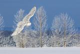Canada  Ontario Female snowy owl in flight