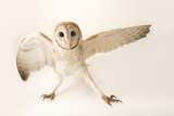 A common barn owl  Tyto alba javanica  at Penang Bird Park