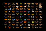 Composite of one hundred different species of butterflies and moths
