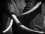 Elephants  Loxodonta Africana  at ol Donyo in Kenya greet each other