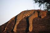 A leopard  Panthera pardus  rests on a large tree limb