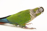 A green cheeked conure from a private collection