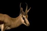 A springbok  Antidorcas marsupialis  at Parco Natura Viva