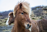 Portrait of an Icelandic pony  Equus caballus