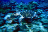 Hawksbill Sea Turtle  Maldives