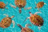 Riviera Maya Turtles Photomount on Caribbean Turquoise Waters of Mayan Mexico Papier Photo par Holbox